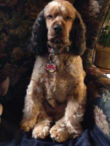 Canine Massage: Toby