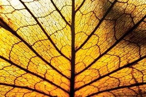 Leaf:Immune